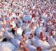 Продажа проекта птицефермы по выращиванию индейки