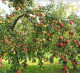 Яблоневый сад на доходной земле