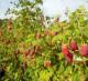 Урожайная плантация малины