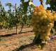 продажа виноградников (столовый) в Крыму, 54Га